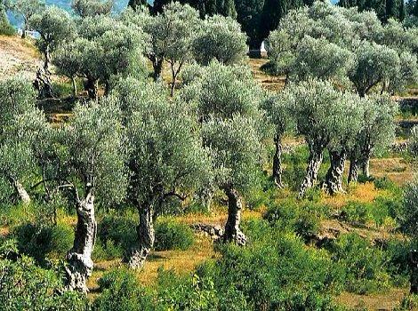 Hhalkidiki olivy