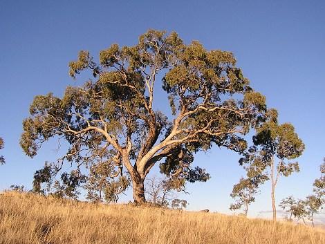 Chalkidiki eukalyptus